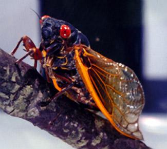 cicada-s.jpg